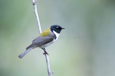 Black-headed Honeyeater.1