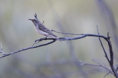 Black Honeyeater - Female (Sugomel niger) - Uluru, NT