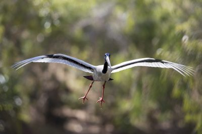 Black-necked Stork - In Flight (Ephippiorhynchus asiaticus australis)