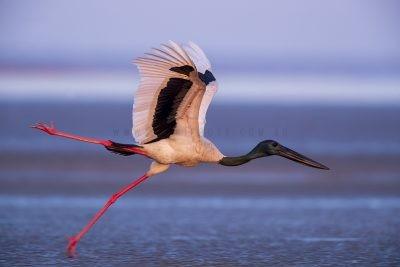 Black-necked Stork - Male Takeoff