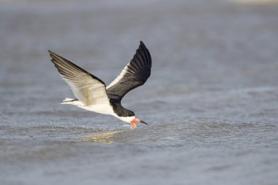 Black Skimmer (Rynchops niger).
