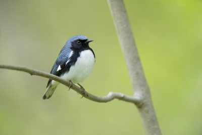 Black-throated Blue Warbler (Setophaga caerulescens)