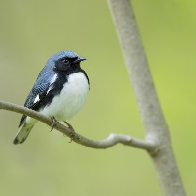 Birds of the United States of America (USA)