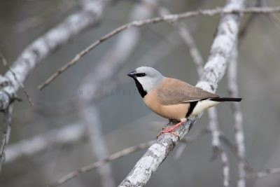Black-throated Finch (Poephila cincta cincta)