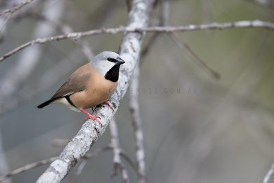 Black-throated Finch (Poephila cincta cincta)1