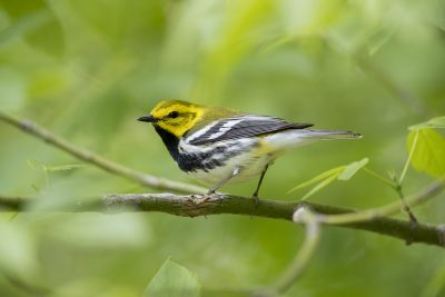 Black-throated Green Warbler (Setophaga virens)
