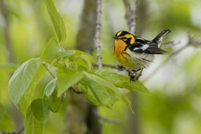 Blackburnian Warbler - Male (Setophaga fusca)1