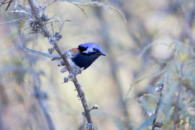 Blue-breasted Fairywren - Male (Malurus pulcherrimus)