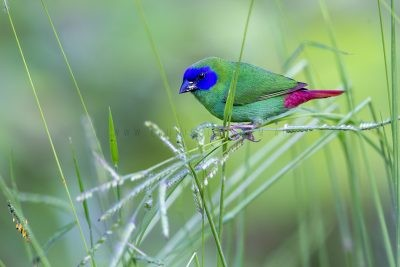 Blue-faced Parrot Finch - Male