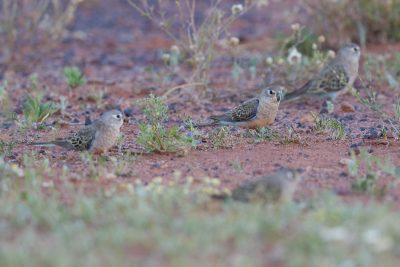 Bourke's Parrot (Neopsephotus bourkii) - Alice Springs, NT