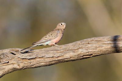 Bourkes Parrot (Neophema bourkii)