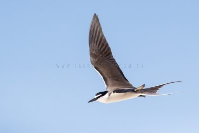 Bridled Tern - In Flight (Onychoprion anaethetus)