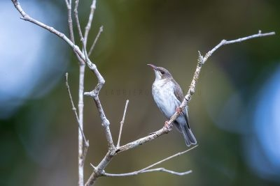 Brown-backed Honeyeater (Ramsayornis modestus).1