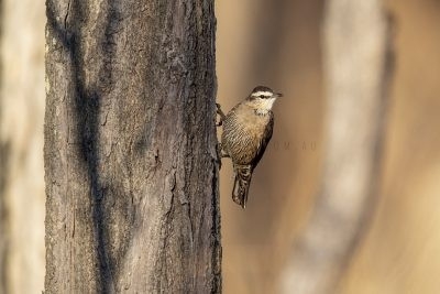 Brown (Black) Treecreeper - Male (Climacteris picumnus melanotus)