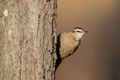 Brown (Black) Treecreeper - Male (Climacteris picumnus melanotus).2