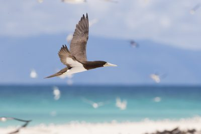 Brown Booby (Sula leucogaster plotus)