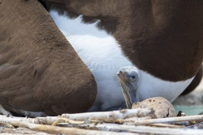 Brown Booby - with Chick (Sula leucogaster plotus)