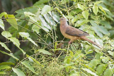 Brown Cuckoo-dove (Macropygia amboinensis robinsoni)