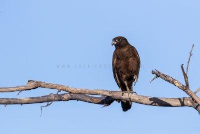 Brown Falcon - Dark Morph