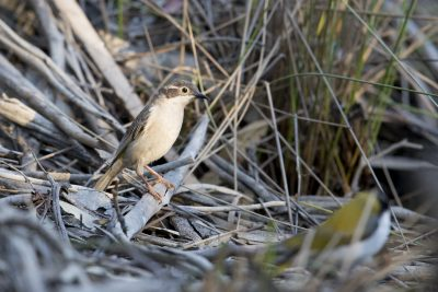 Brown-headed Honeyeater (Melithreptus brevirostris)