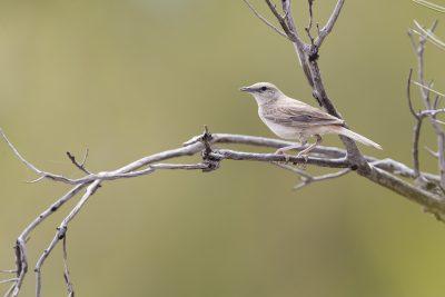 Brown Songlark (Cincloramphus cruralisalice) - Alice Springs, NT