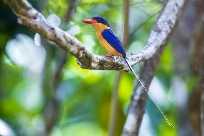 Buff-breasted Paradise-Kingfisher