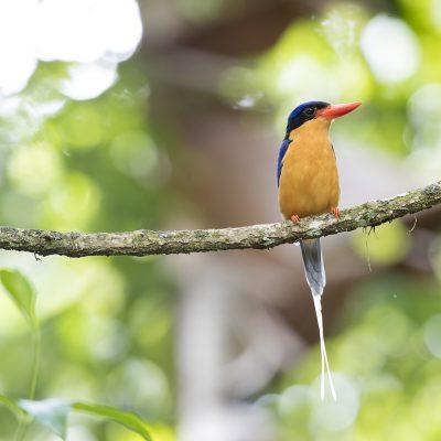 Kingfishers & Tree Kingfishers