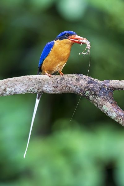 Buff-breasted Paradise-kingfisher - with Prickly Katydid