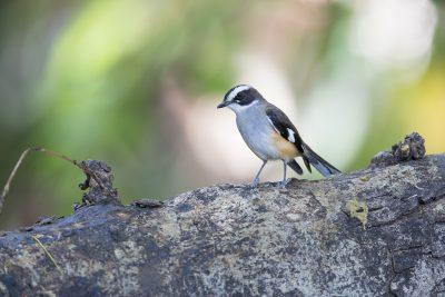 Buff-sided Robin (Poecilodryas cerviniventris) - Timber Creek, NT