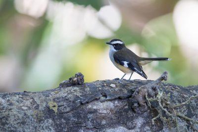 Buff-sided Robin (Poecilodryas cerviniventris) - Timber Creek, NT.