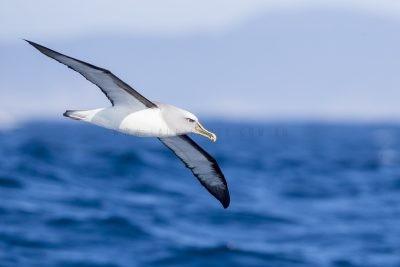 Buller's Albatross (Thalassarche bulleri bulleri)