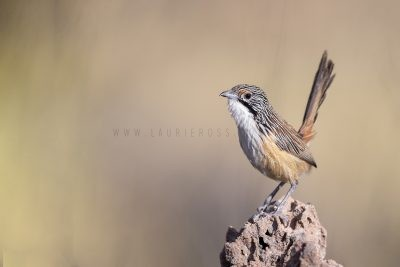 Carpentarian Grasswren - Male