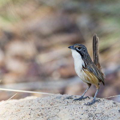 Fairy-wrens, Emu-wrens & Grasswrens