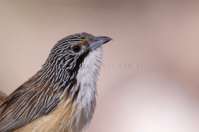 Carpentarian Grasswren - Male Portrait