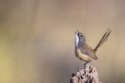 Carpentarian Grasswren - Male Singing.