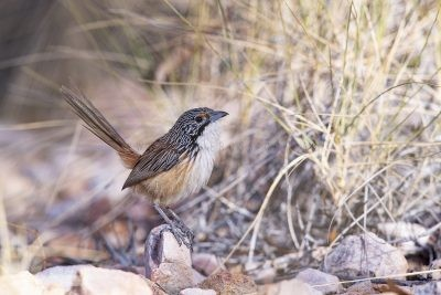 Carpentarian Grasswren - Male.0