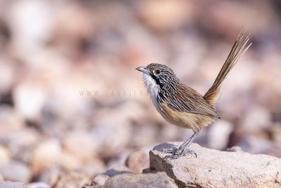 Carpentarian Grasswren - Male.2