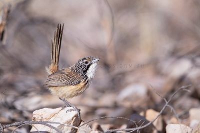 Carpentarian Grasswren - Male.3