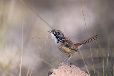 Carpentarian Grasswren - Male.4