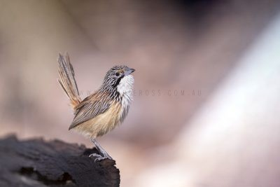 Carpentarian Grasswren - Male.7