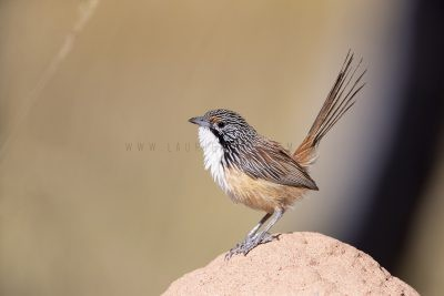 Carpentarian Grasswren - Male.8