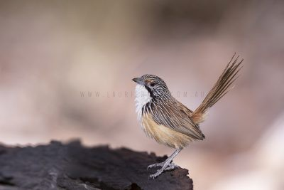 Carpentarian Grasswren - Male.9