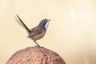 Carpentarian Grasswren - Male0