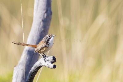 Carpentarian Grasswren - Male (Amytornis dorotheae).3