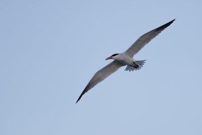 Caspian Tern (Hydroprogne caspia) - Long Reach Billabong, NT