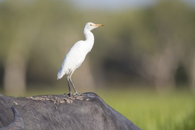 Cattle Egret - On  Buffalo (Ardea ibis coromanda) - Yellow Waters, NT