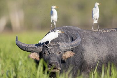 Cattle Egrets - On  Buffalo (Ardea ibis coromanda) - Yellow Waters, NT.
