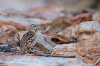 Chestnut-backed Button-quail - Turnix castanotus.2