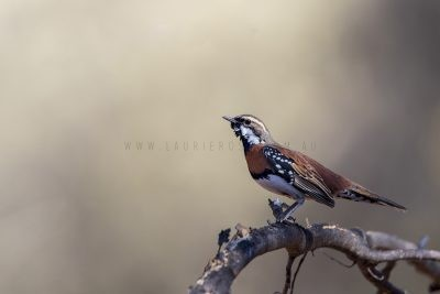 Chestnut-breasted Quail-thrush - Male (Cinclosoma castaneothorax castaneothorax)