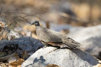 Chestnut-quilled Rock-pigeon (Petrophassa rufipennis) - Koolpin Camp Ground, NT
